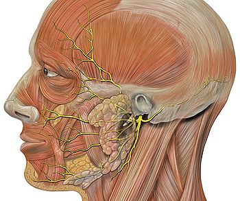 350px-Head_facial_nerve_branches